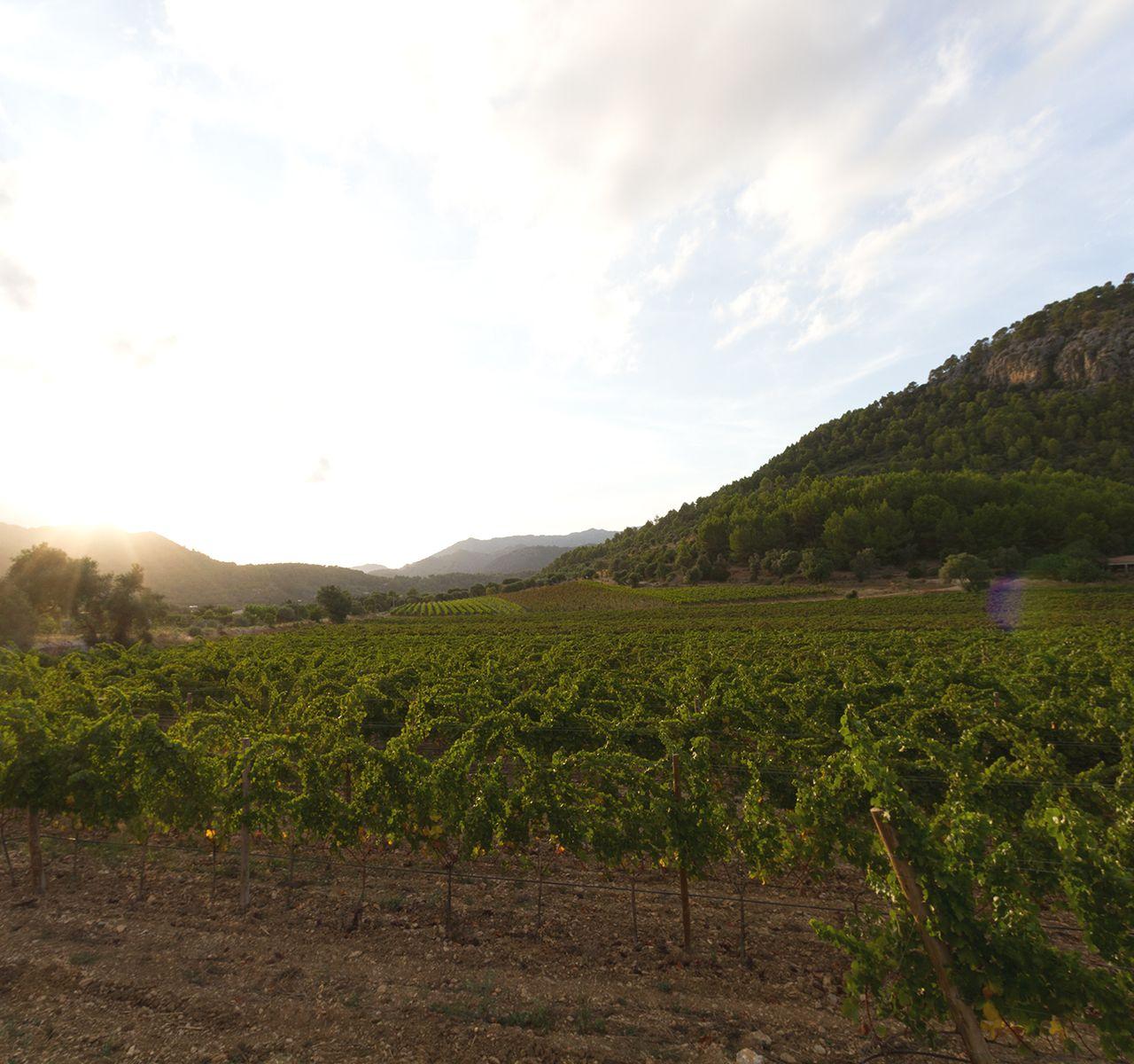 Weingut - Bodega Jardi Lavica, Mallorca
